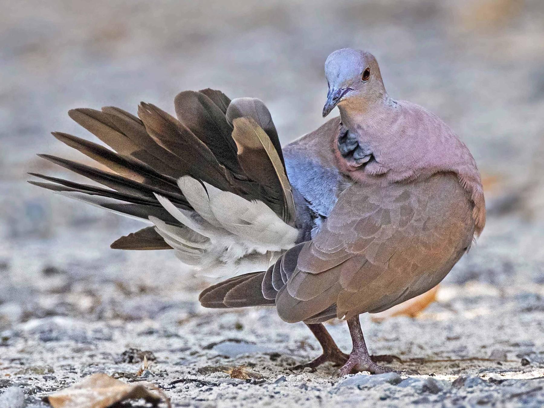 Philippine Collared-Dove - Ramon Quisumbing