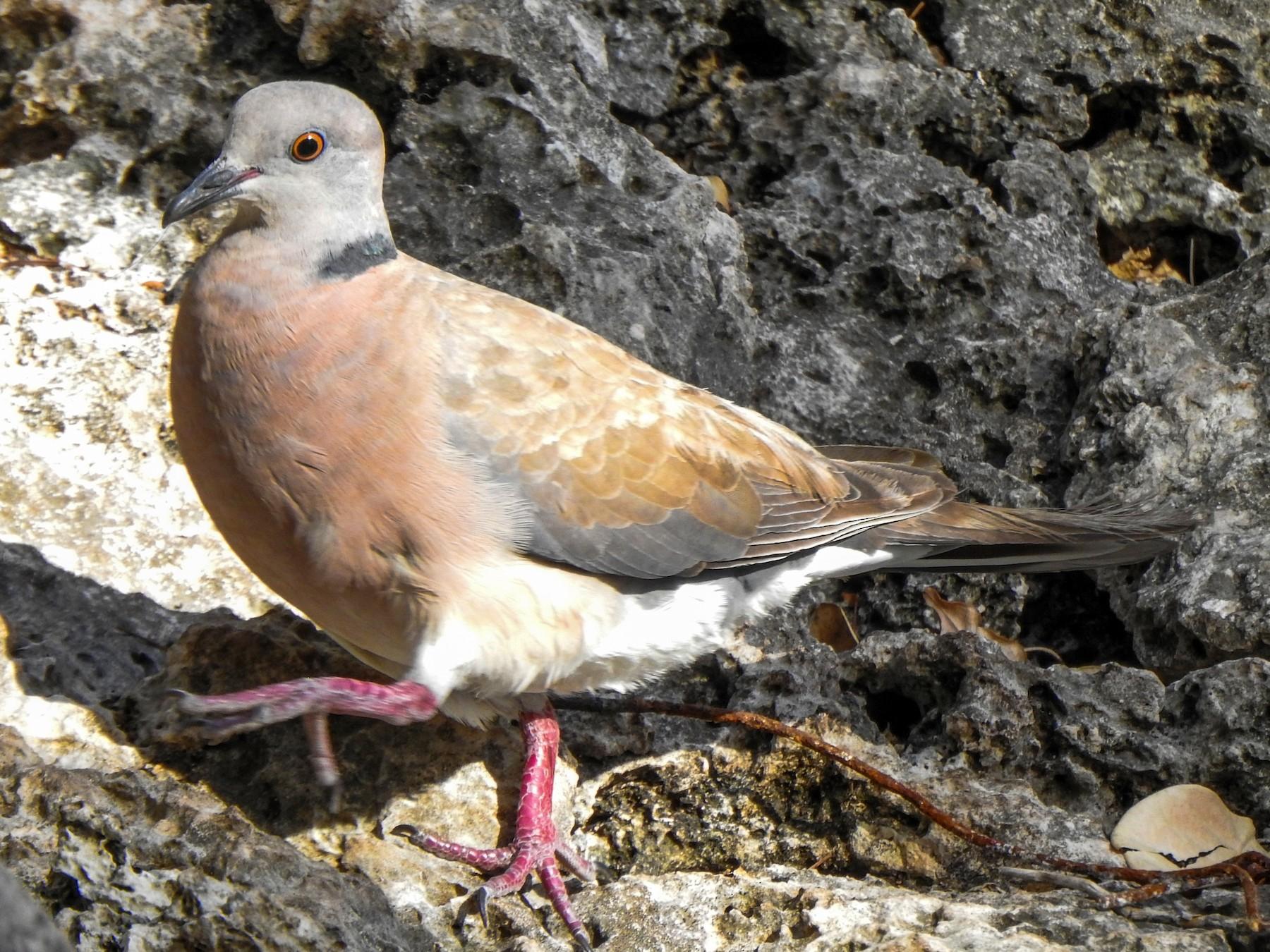 Philippine Collared-Dove - Pam Rasmussen