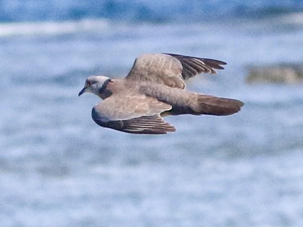 Philippine Collared-Dove - Joseph Mancuso