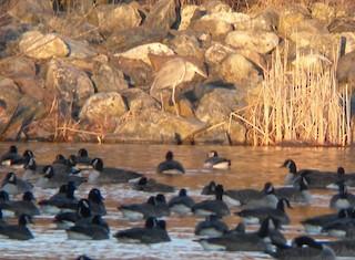 Barnacle Goose, ML33274641