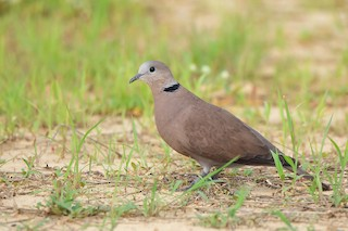 Red Collared-Dove, ML332747691