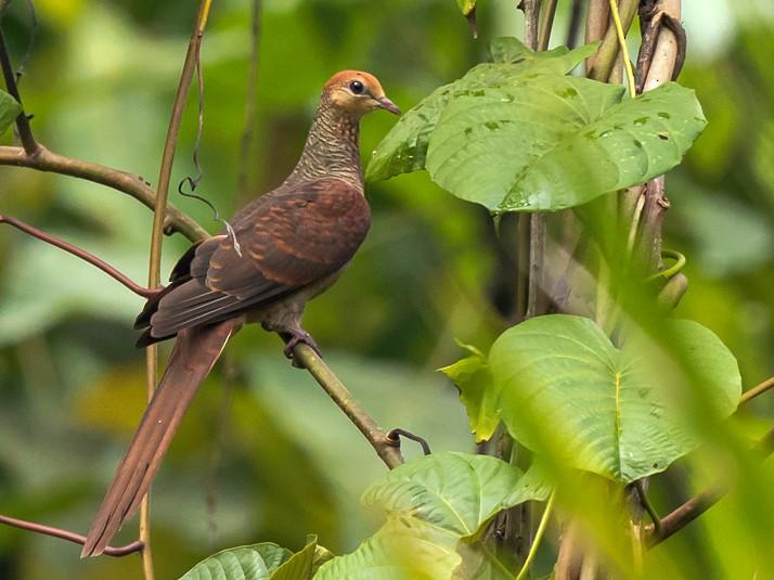 Sultan's Cuckoo-Dove - Frédéric PELSY
