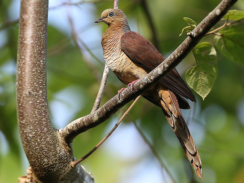 Sultan's Cuckoo-Dove - James Eaton