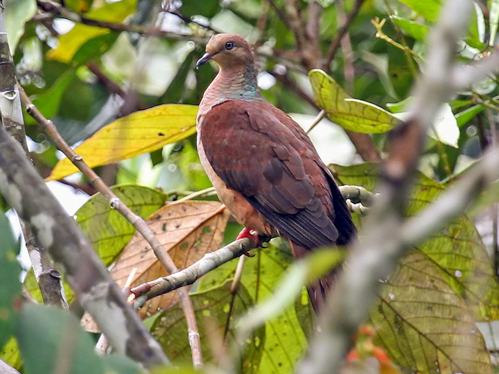 Sultan's Cuckoo-Dove - Phillip Edwards