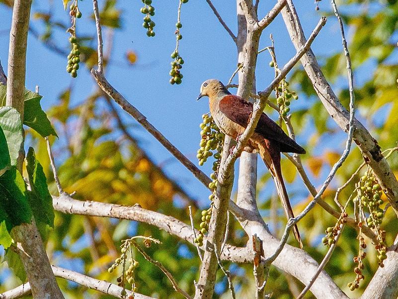 Sultan's Cuckoo-Dove - Andy Walker - Birding Ecotours