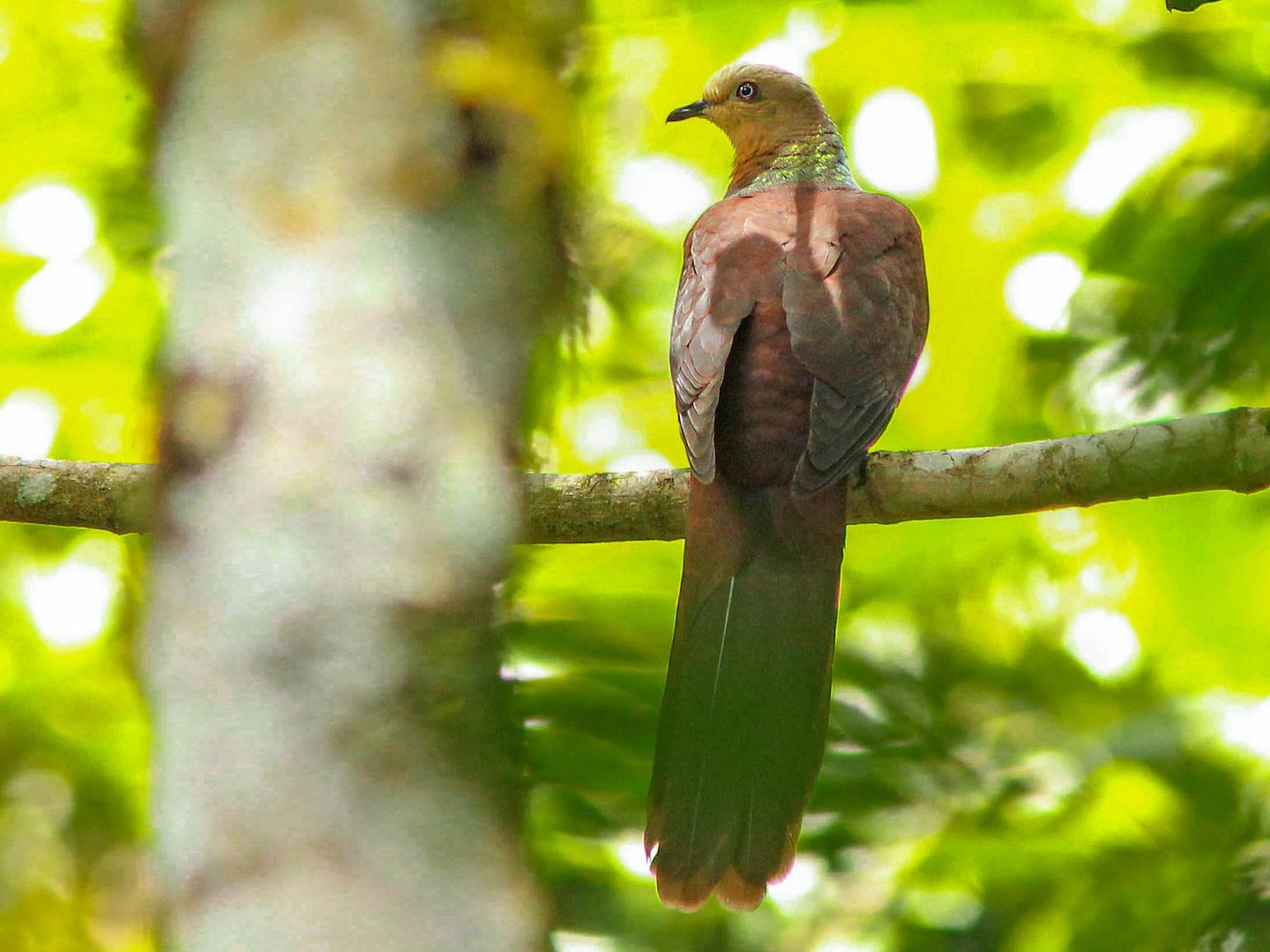 Sultan's Cuckoo-Dove - David Beadle