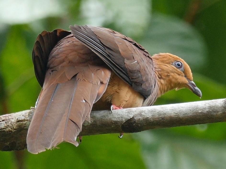 Sultan's Cuckoo-Dove - Josep del Hoyo
