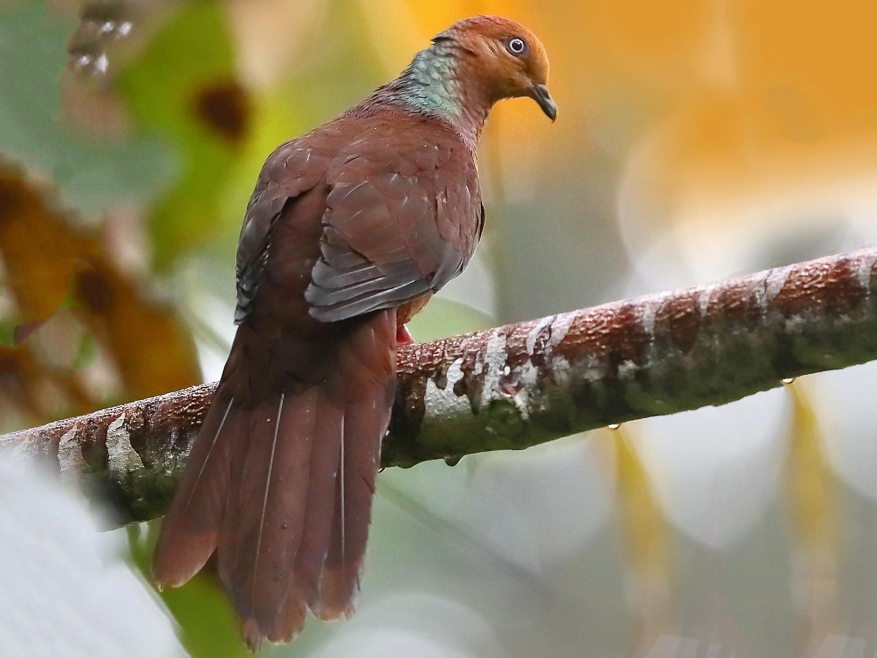 Sultan's Cuckoo-Dove - Carlos Bocos