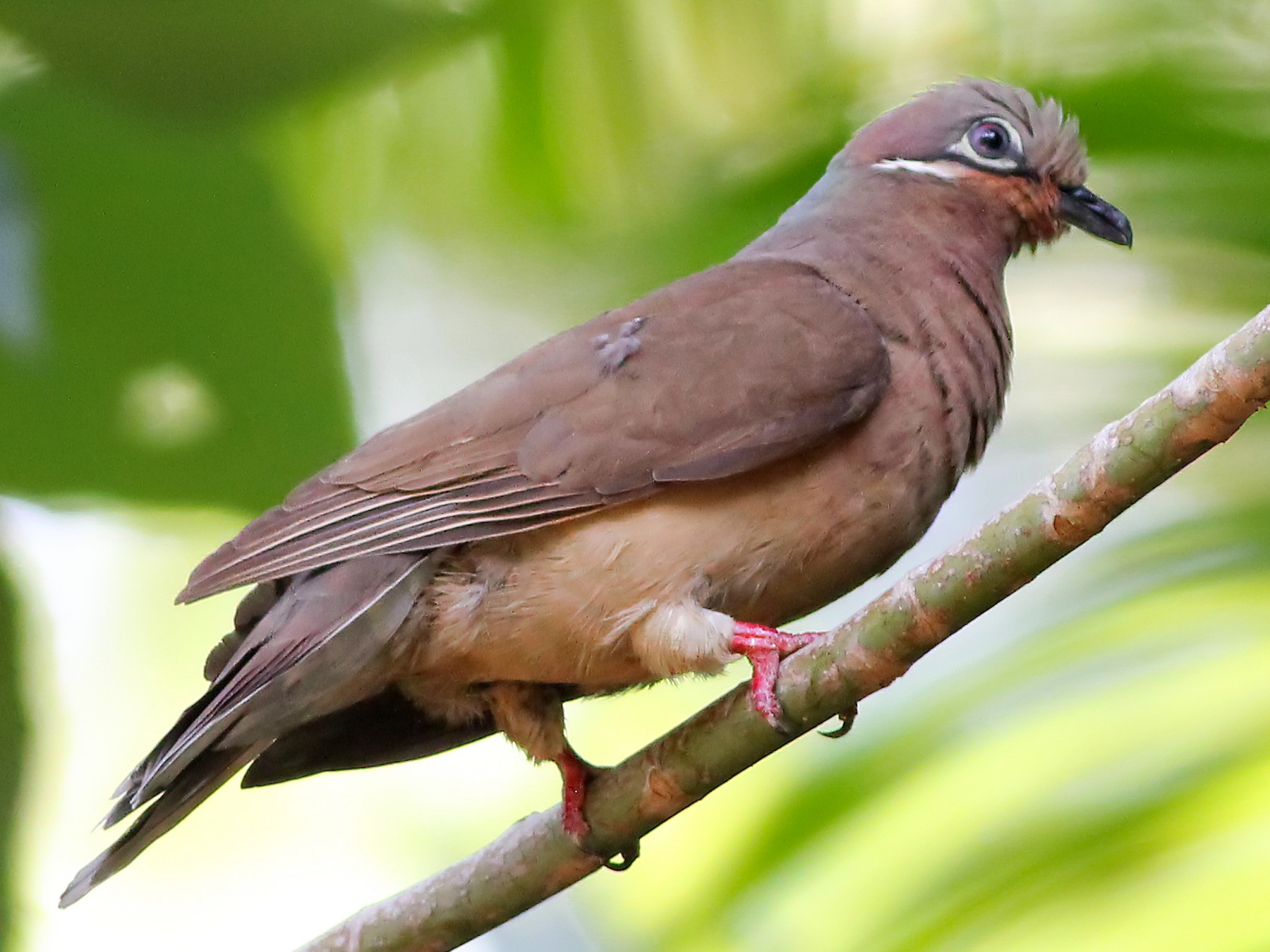 White-eared Brown-Dove - Chris Chafer