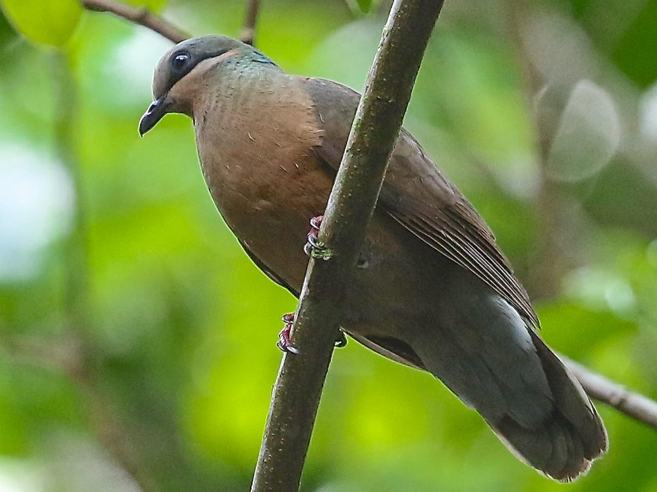White-eared Brown-Dove - Mark Sutton