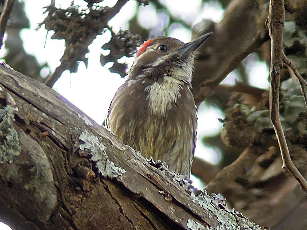 Brown-backed Woodpecker - Nik Borrow
