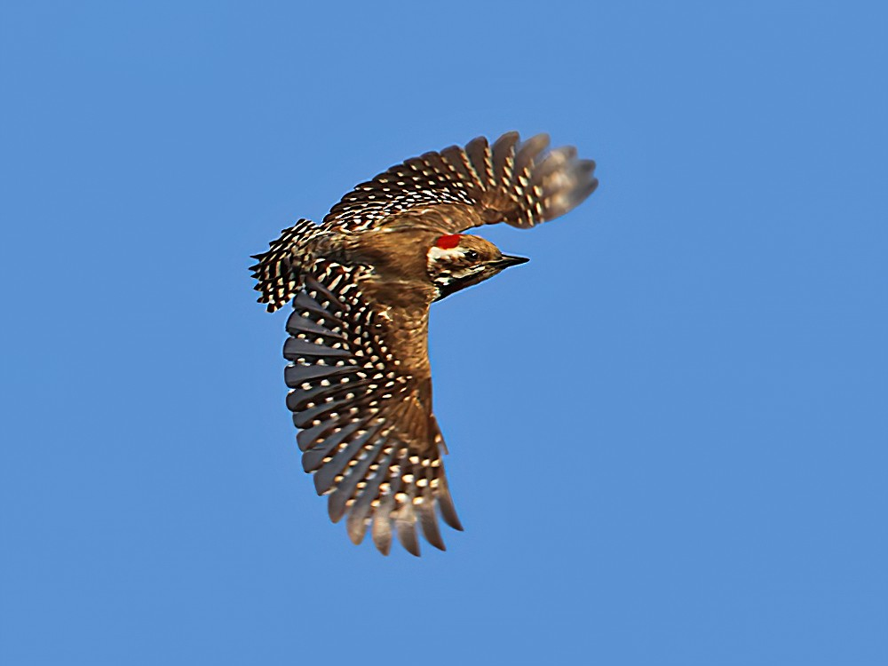 Brown-backed Woodpecker - Christoph Moning