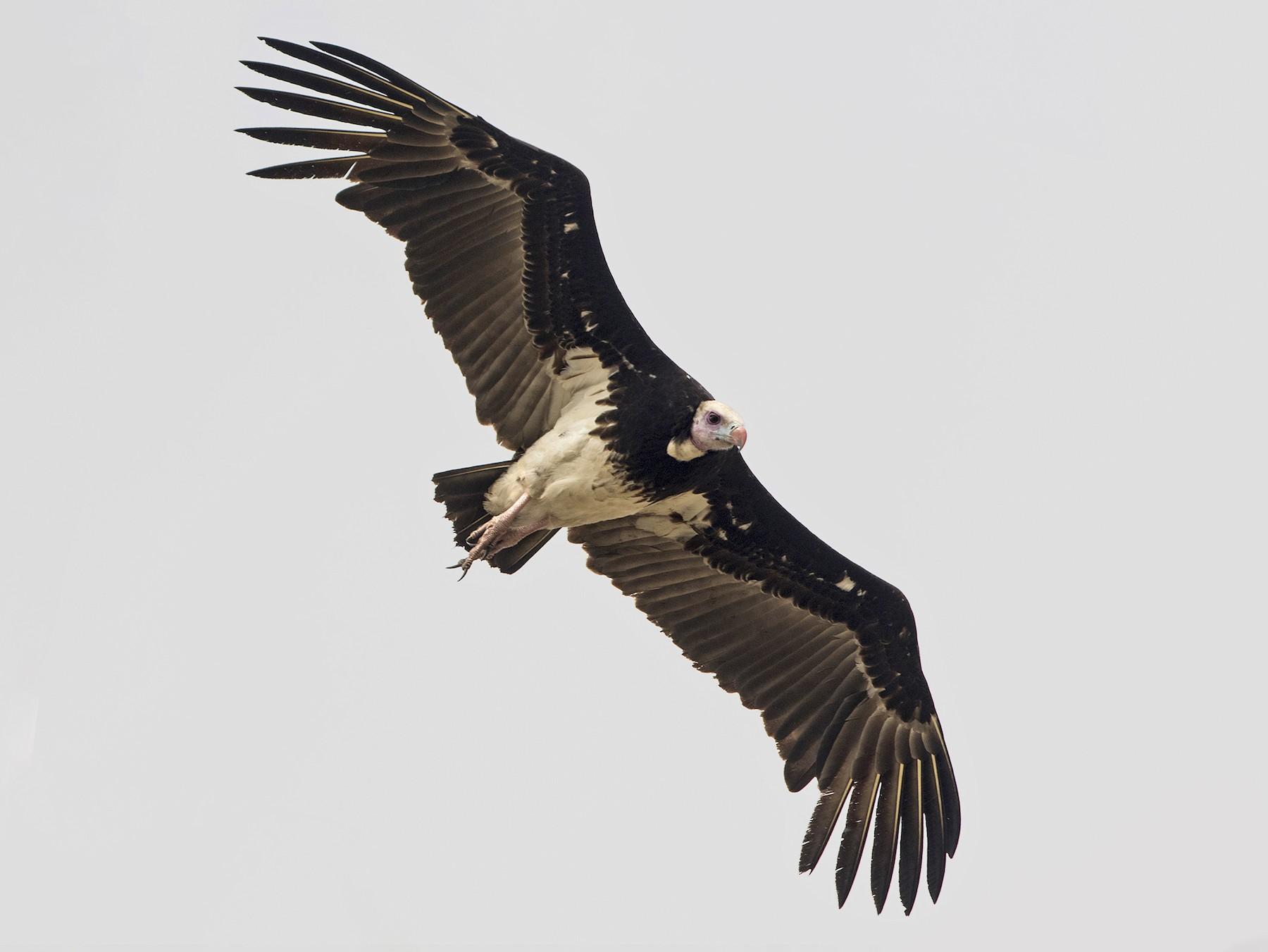 White-headed Vulture - Zak Pohlen