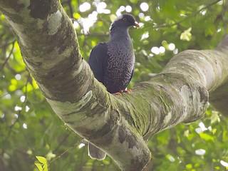 - White-naped Pigeon