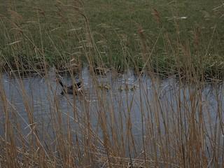 Graylag Goose, ML333431501
