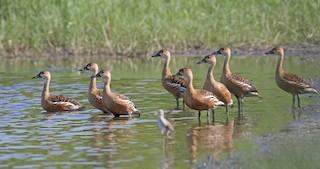Wandering Whistling-Duck, ML333694681