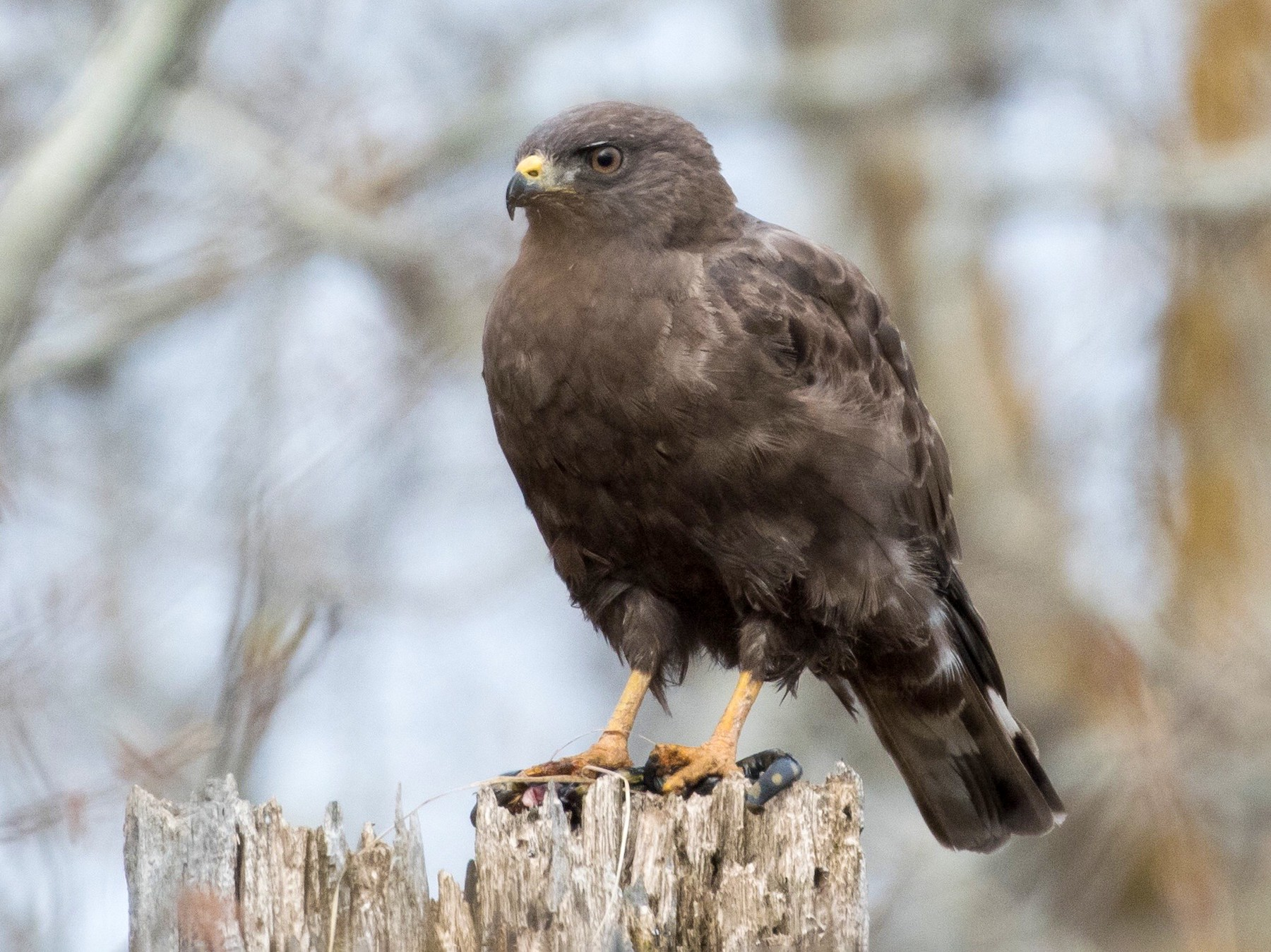 Broad-winged Hawk - Wayne Perala