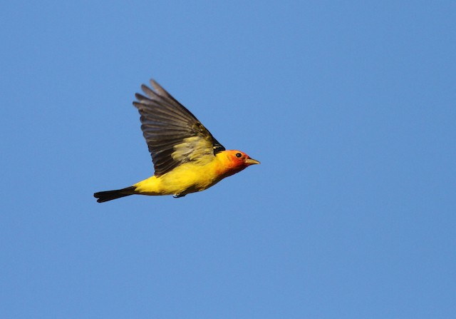 ©Ryan Terrill - Western Tanager
