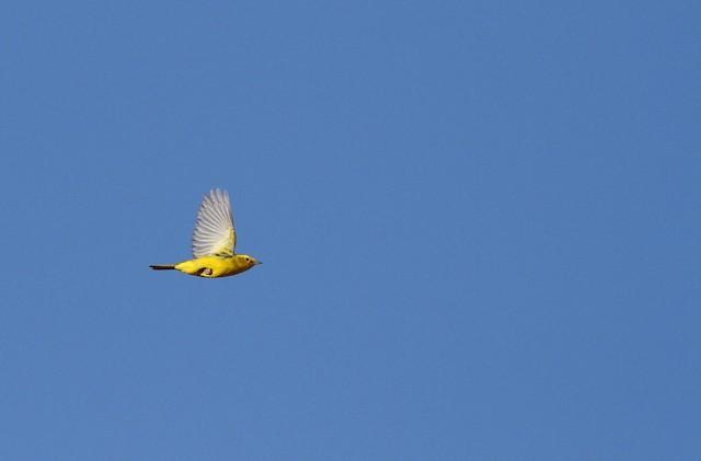 ©Ryan Terrill - Wilson's Warbler