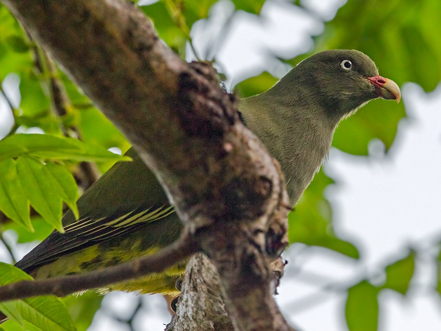 Sao Tome Green-Pigeon - Lars Petersson