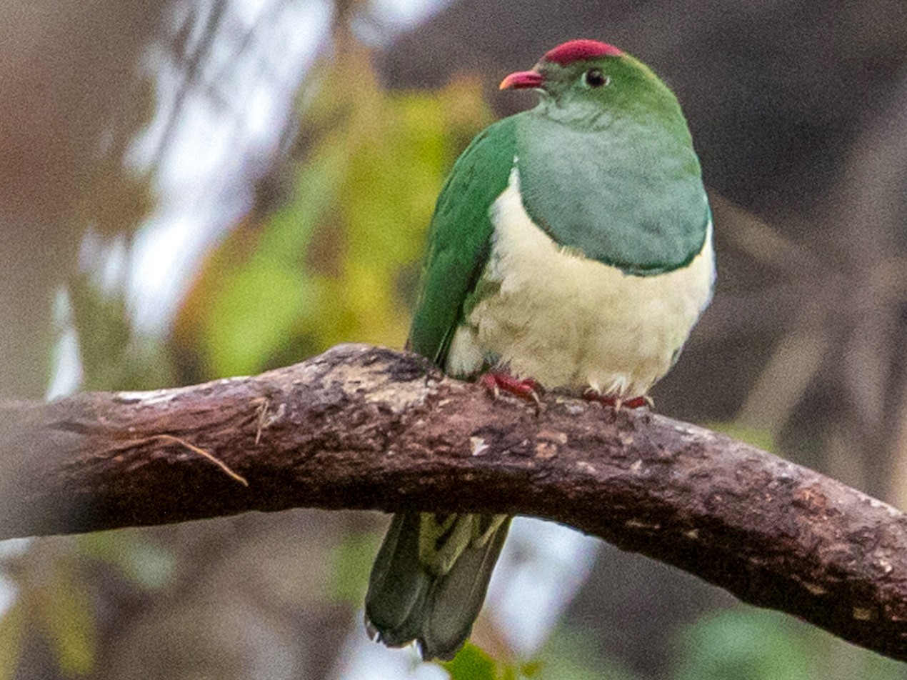 Cream-breasted Fruit-Dove - Louis Bevier
