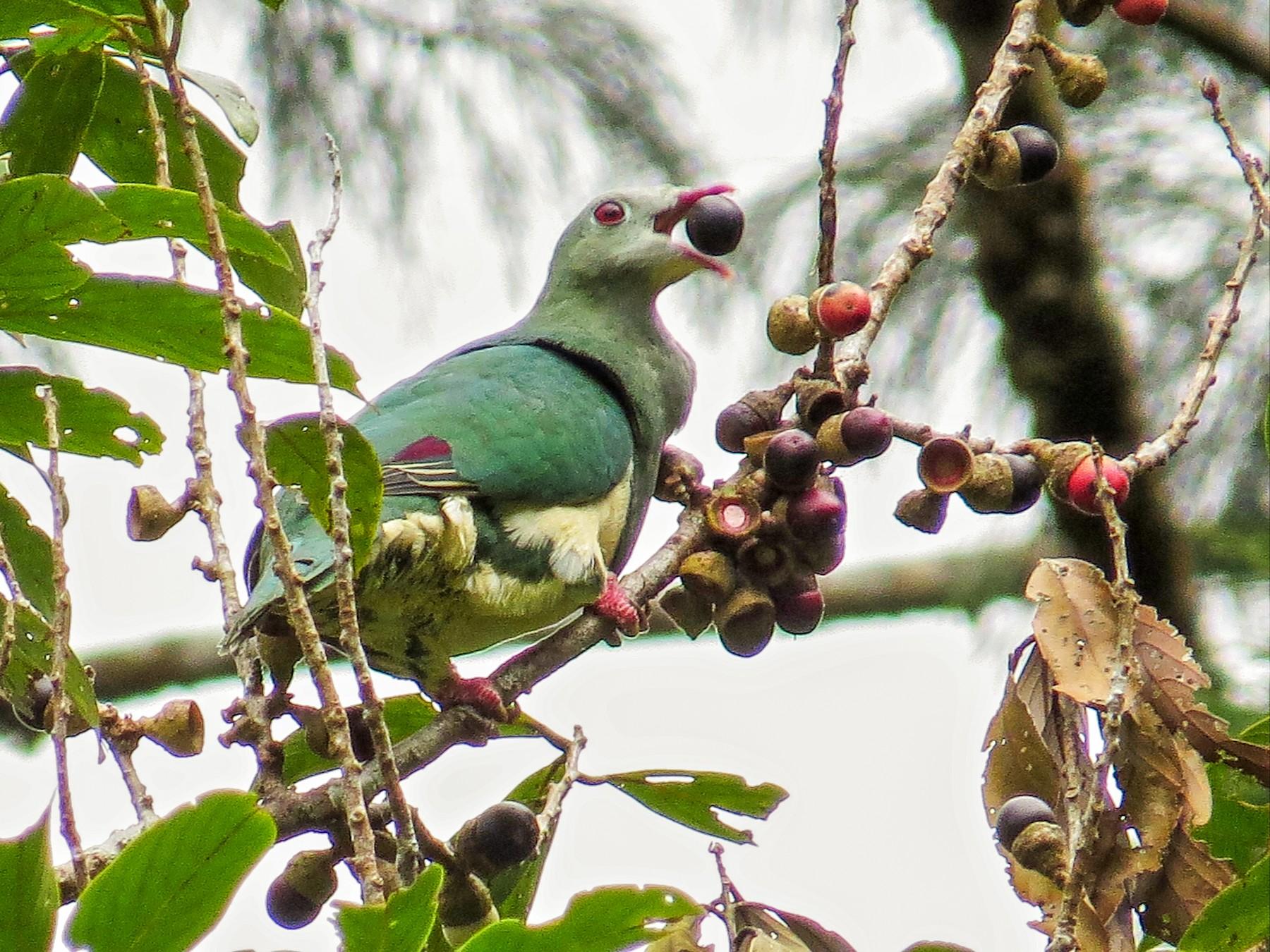 Cream-breasted Fruit-Dove - George Inocencio