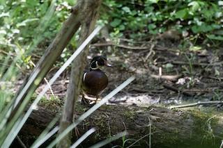Wood Duck, ML334634651