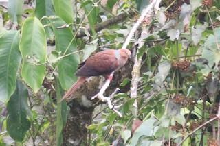 Amboyna Cuckoo-Dove, ML33478901