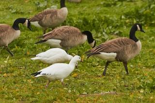 Ross's Goose, ML33496111
