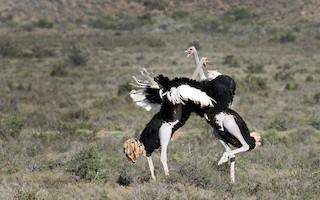 Common Ostrich, ML33501031