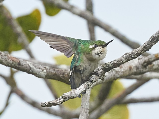 Chiribiquete Emerald