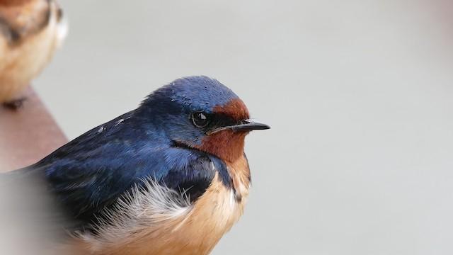 Barn Swallow (American)