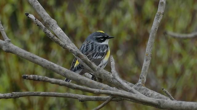 Yellow-rumped Warbler (Myrtle)