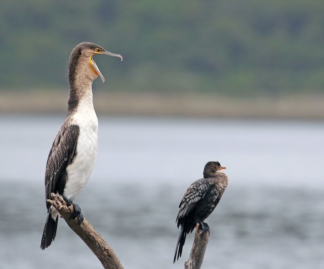 Great Cormorant (White-breasted)