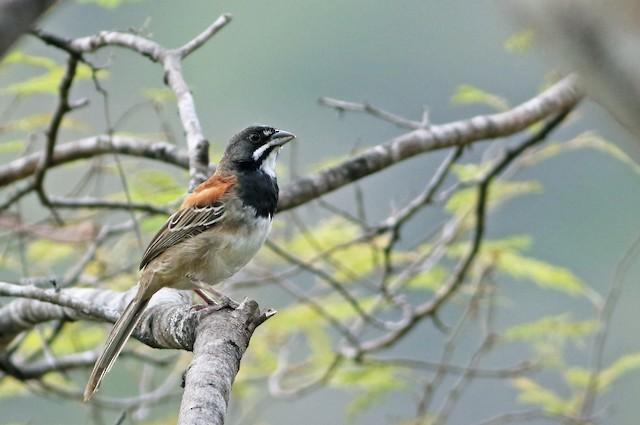 Black-chested Sparrow