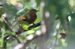 - Rufous-necked Foliage-gleaner