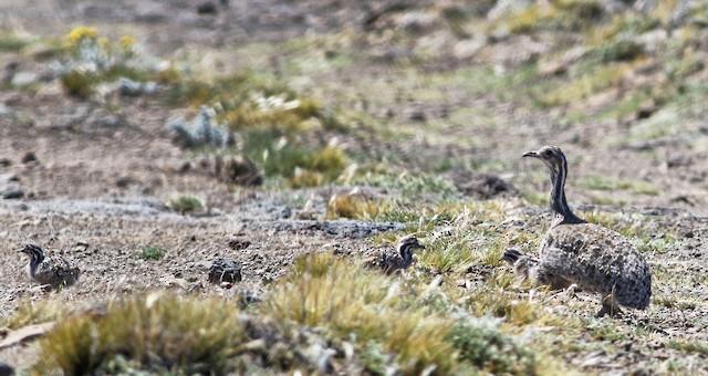 Patagonian Tinamou