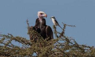 - White-headed Vulture