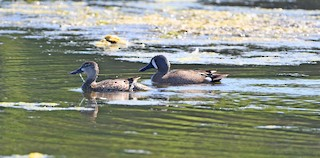 Blue-winged Teal, ML335845821