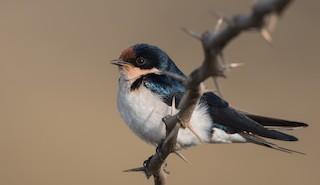 - Ethiopian Swallow