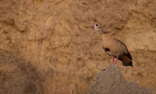 Egyptian Goose, ML33603501