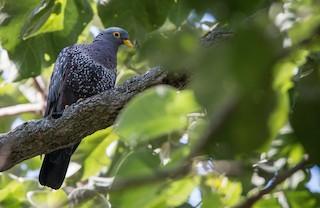 - Rameron Pigeon