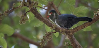 - White-cheeked Turaco
