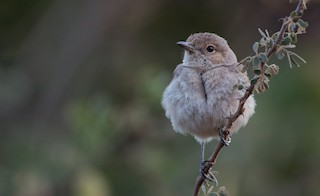 - Brown-tailed Chat
