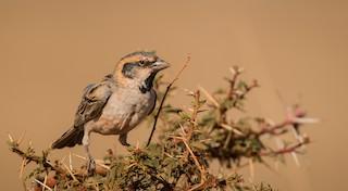 - Shelley's Rufous Sparrow