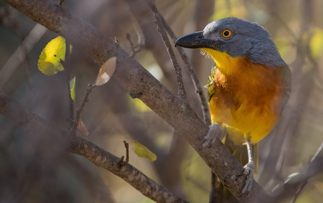 Gray-headed Bushshrike