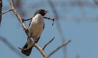 - Eastern Violet-backed Sunbird