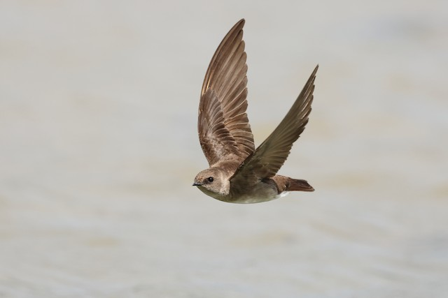 Northern Rough-winged Swallow ML336360461