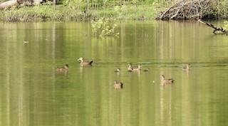 Pacific Black Duck, ML336379181