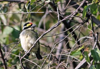 - Red-fronted Barbet